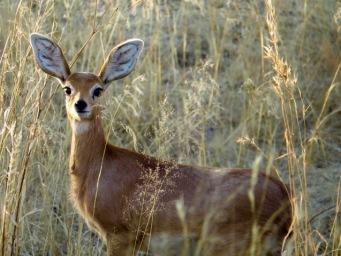 Female Steenbok