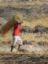 End of day... harvest of reeds
