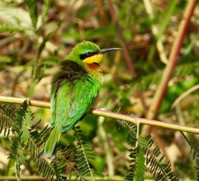 Bee eater on living color!