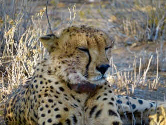 Obi Wan nine year old male cheetah