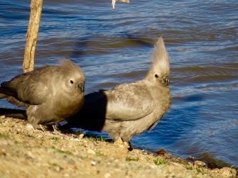 Go away bird, Grey Lourie