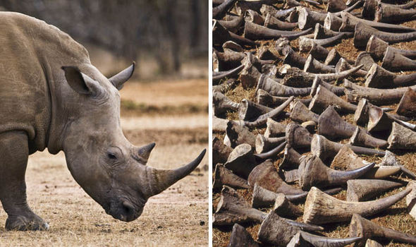 rhino-horn-658169